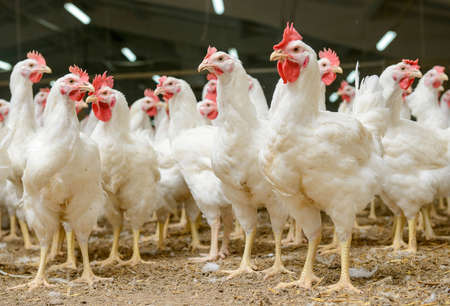carne de pollo: Granja av�cola moderna, la producci�n de carne blanca