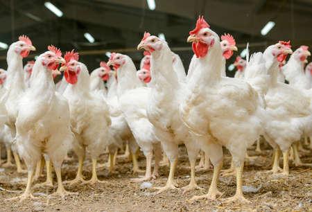 Moderne Hühnerfarm, die Produktion von weißem Fleisch Standard-Bild