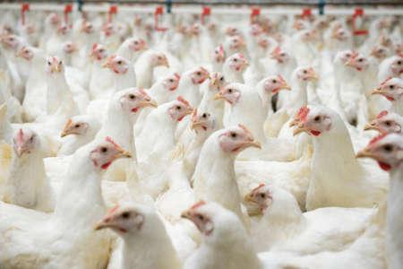 aves de corral: Granja avícola moderna, la producción de carne blanca