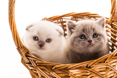 british short hair: two british short hair kittens isolated on white background Stock Photo