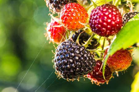 raspberries: Raspberries. Growing Organic Berries closeup. Stock Photo