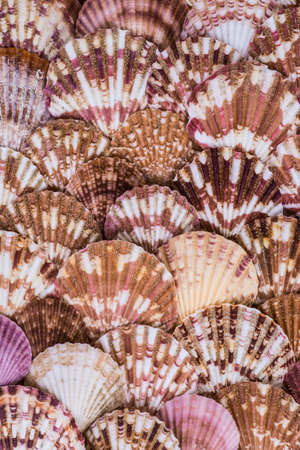 scallop shell: variety of sea shells from beach - panoramic - with large scallop shell.
