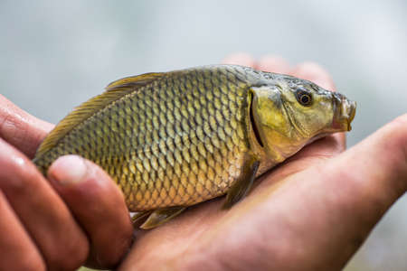 Small carp lying in the palm of the fisher. Stock Photo