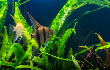 scalare: zebra angelfish pterophyllum scalare aquarium