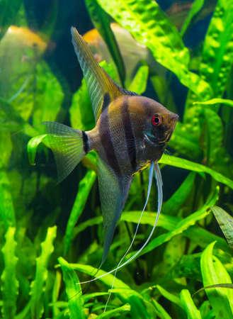 scalare: zebra angelfish pterophyllum scalare aquarium