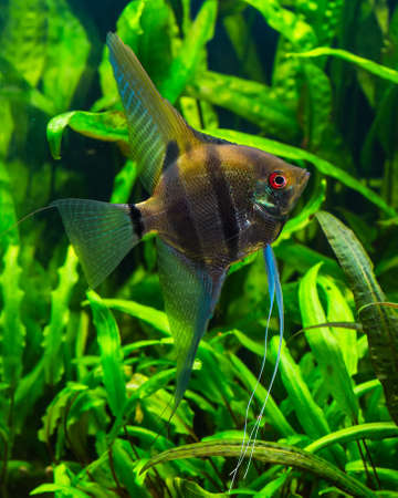 freshwater aquarium plants: zebra angelfish pterophyllum scalare aquarium
