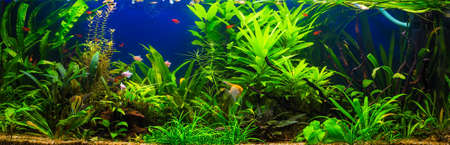 freshwater: fish in freshwater aquarium with green beautiful planted tropical