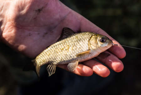 Crucian carp in fishermans hands, sunset soft light Stock Photo