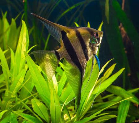 zebra angelfish pterophyllum scalare aquarium