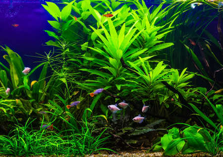 A green beautiful planted tropical freshwater aquarium with fishes Stock Photo