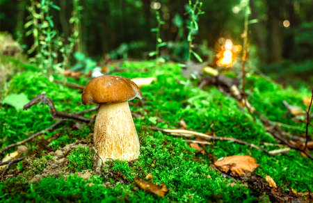 Fresh porcini mushrooms in forest. Brown boletus mushroom, greater edible mushroom.Mushrooms and berries are growing in warm green, thick, wet moss layer. Perfect weather for outdoor activities.
