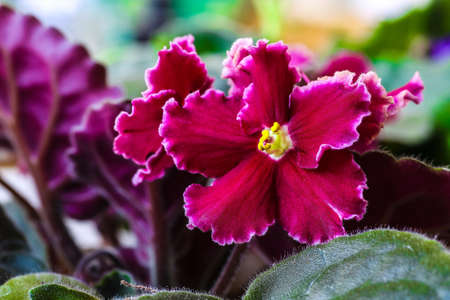 Violet Saintpaulias flowers commonly known as African violets Parma violets close up isolated colored bokeh background. Stock Photo - 118834593