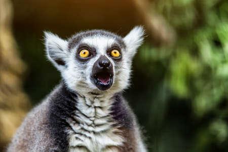 Single Lemur staring directly at camera.Close up of a ring-tailed lemur(lemur catta), Madagascar