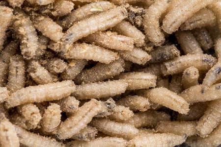 Many living larvae for fishing, background