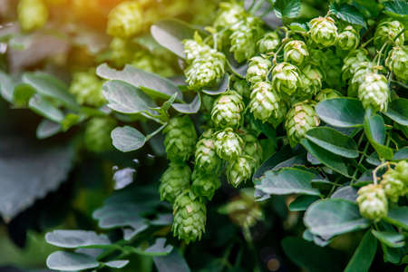 Fresh and Ripe Hops ready for harvesting. Beer production ingredient. Brewing concept. Fresh Hop over blurred nature green background with sun beams. Фото со стока