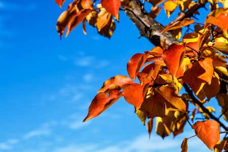 Autumn leaves background  with orange foliage lit by sunshine, sunny autumn landscape in bright sunlight Reklamní fotografie