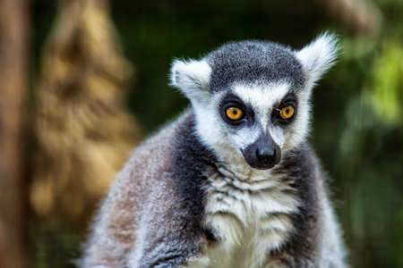 Single Lemur staring directly at camera.Close up of a ring-tailed lemur(lemur catta), Madagascar