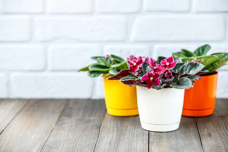 African violets (Saintpaulia) in a home setting on a white wooden background Reklamní fotografie