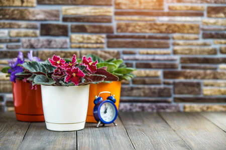 Three Blooming bright pink African violet flower on wooden table with stone background and copy space,African violets (Saintpaulia)