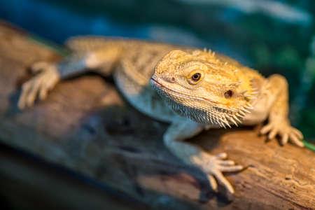 Lizard sitting on brown stone enjoying morning sun. Chameleon on the timber. Kapom, tree lizard Stok Fotoğraf