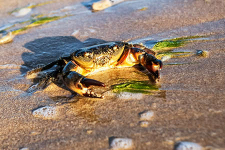 Carcinus maenas.live crab on a tropical beach. crab hiding in the sand at high tide,Small Crab on the seashore. Goes through the sand.
