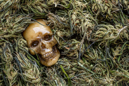 A human skull with a cannabis Bush and a marijuana cone. Scary picture about the deadly addiction to drugs
