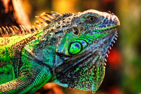 The green iguana, also known as the American iguana, mostly herbivorous species of lizard of the genus Iguana. This is the residual dinosaur reptile that needs to be preserved in the natural world Stock Photo