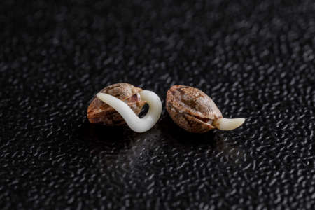 Medical Cannabis seeds on the black background in drop of water - THC CBD, germination of cannabis seeds, sprouting.Cannabis seeds macro