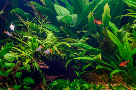 A green beautiful planted tropical freshwater aquarium with fishes,zebra angelfish pterophyllum scalare aquarium
