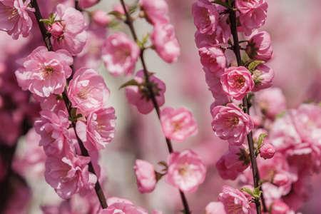 Beautiful and cute pink cherry blossoms (sakura) against blue sky. Botanical garden, sakura blossoms, tree pink flowers, closeup 스톡 콘텐츠