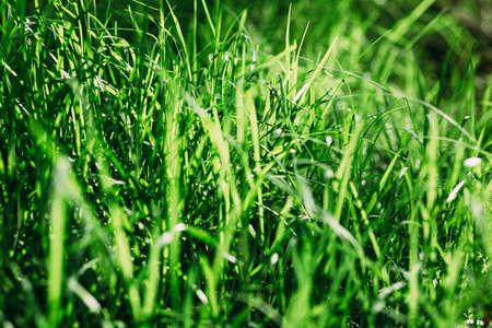 햇빛 백라이트 배경으로 푸른 잔디
