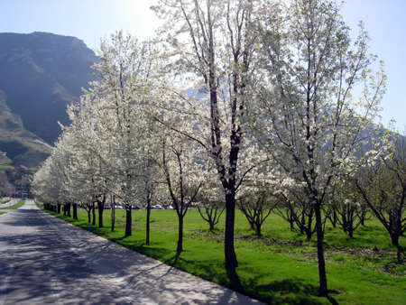 A row of blossoming trees