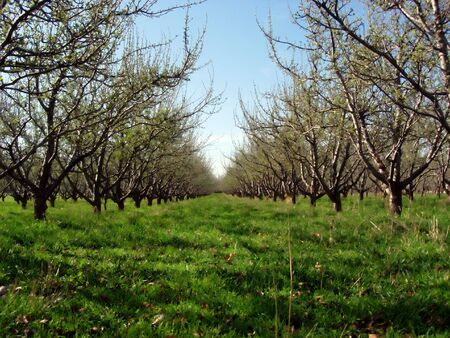 Rows of trees in an orchard photo