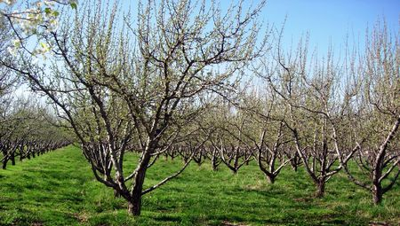 Rows of trees in an orchard