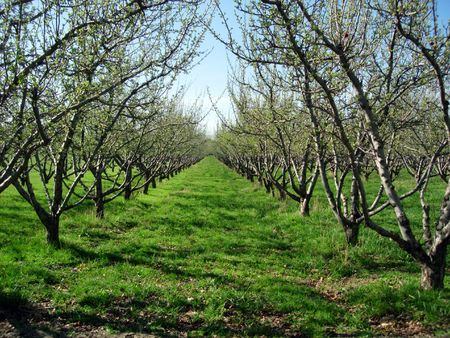 A row of trees in an orchard Stock Photo