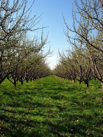 A row of trees in an orchard photo