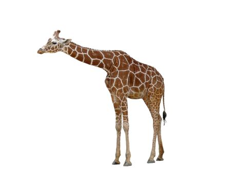 A large giraffe isolated on white photo