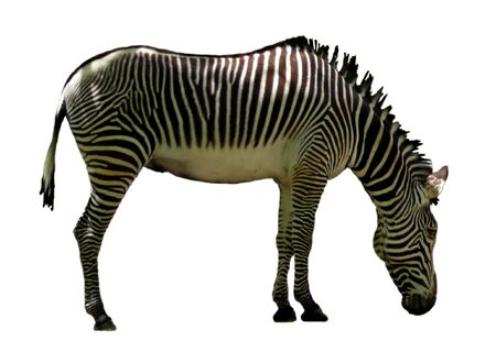 A zebra isolated on white