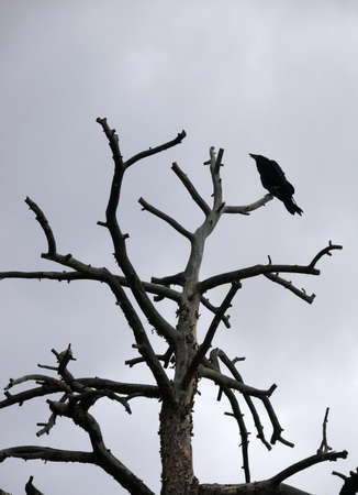 A crow perched in the top of an old tree