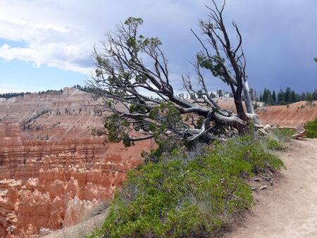 A large tree on the edge of the cliff at Bryce Canyon