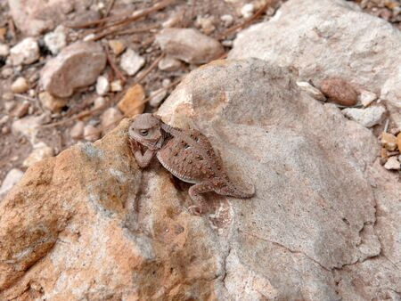 A mountain short-horned lizard on a rock