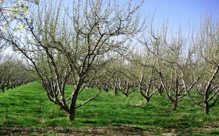 A row of trees in an orchard in early spring Stock Photo