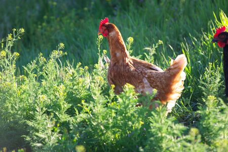 A chicken walking in the grass in the evening sun Stock Photo
