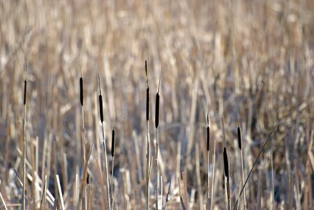 Cattails along a marsh with a shallow depth of field