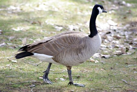 A Canadian Goose on a walk at the park Stock Photo