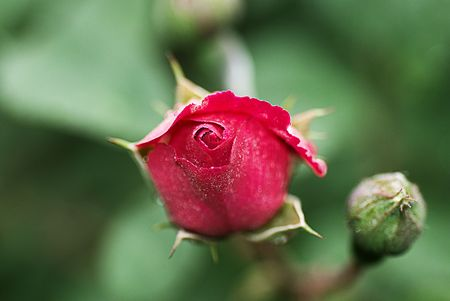 A red rose just blooming after the rain