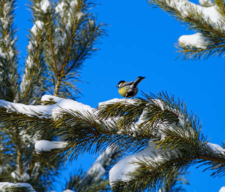 Pine branch with a titmouse on a branch  photo