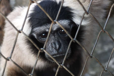 Sad caged Gibbon Stock Photo - 15006778