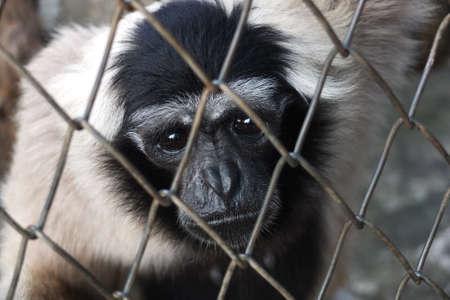 Sad caged Gibbon Stock Photo - 15006778