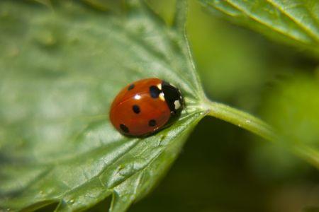 ladybug Standard-Bild